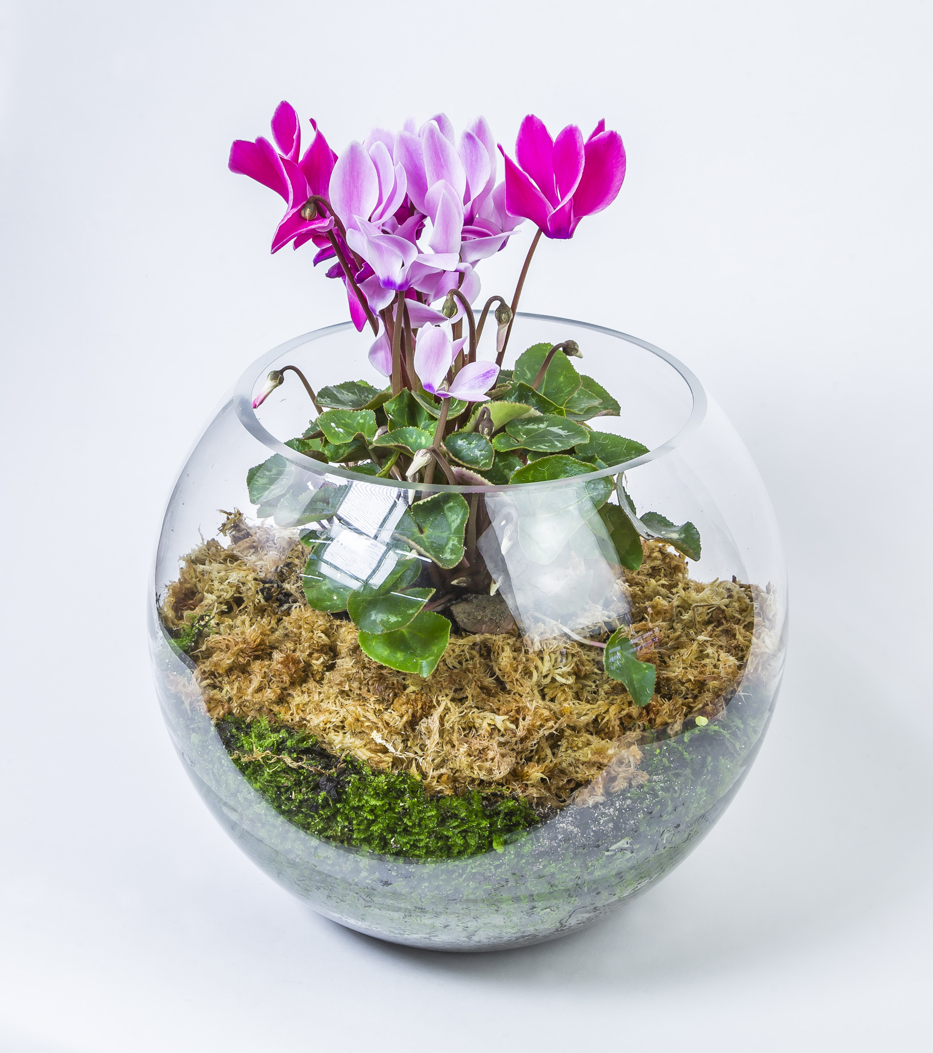 Large cyclamen goldfish bowl cottage garden flowers gifts for Fish bowl plants